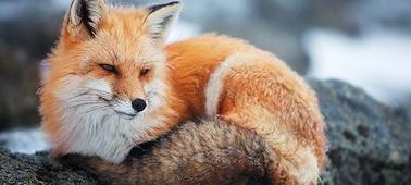 Image d'un renard pour montrer la clarté 4K