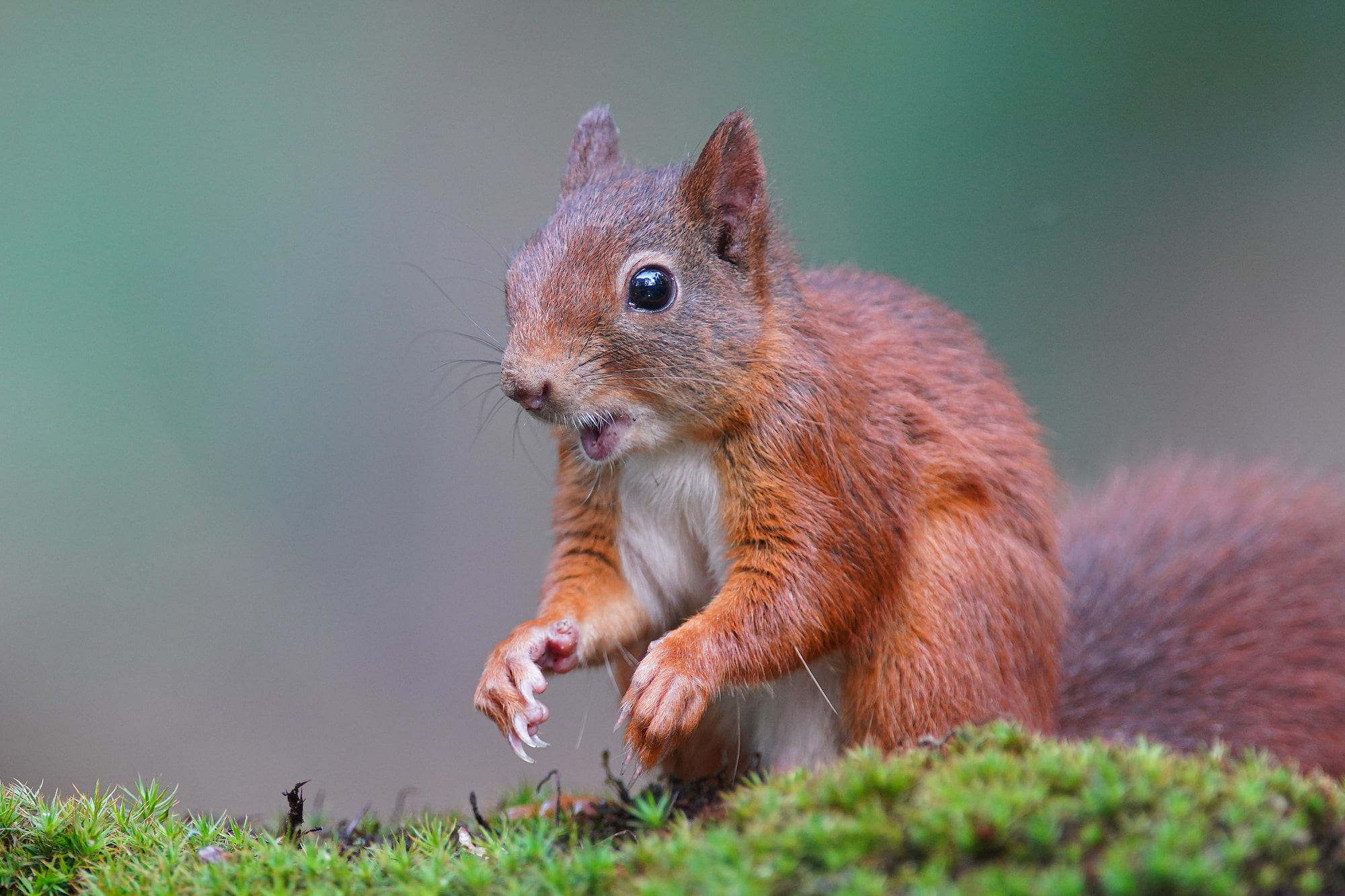 gustav kiburg sony alpha 7RM4 red squirrel standing with his paws outstretched