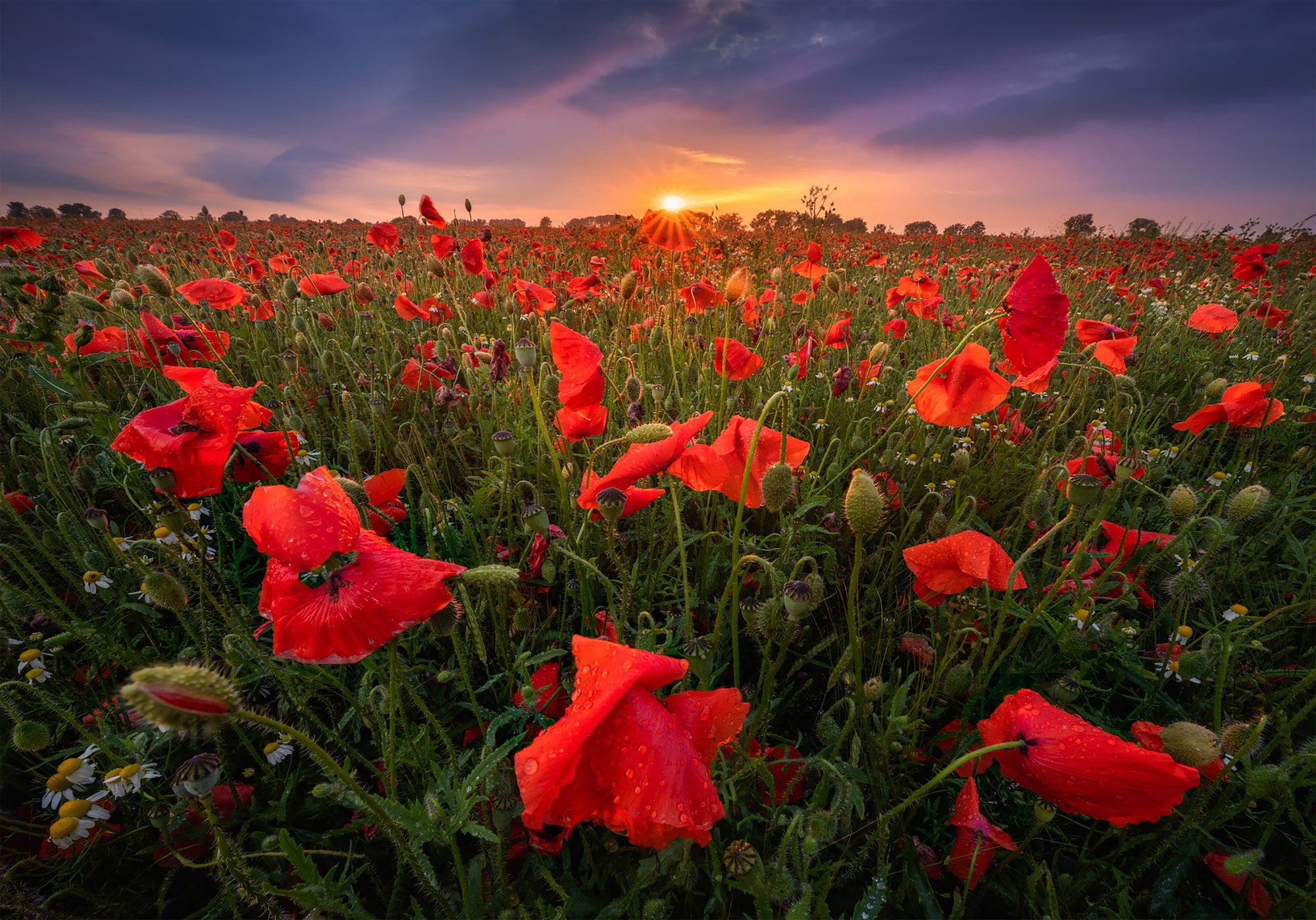 albert dros sony alpha 7RM4 a poppy field in the netherlands after a rainstorm